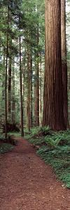 Trail Passing Through a Redwood Forest, Redwood National Park, California, USA