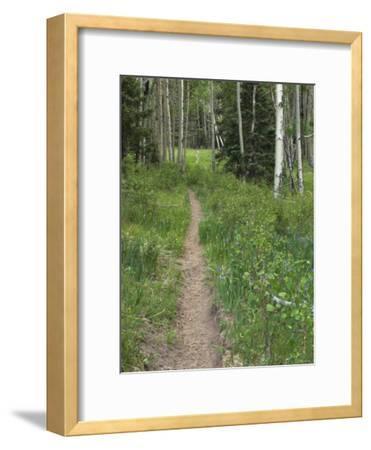 Trail Through Aspen Forest in the Pecos Wilderness, Sangre De Cristo Mountains, New Mexico