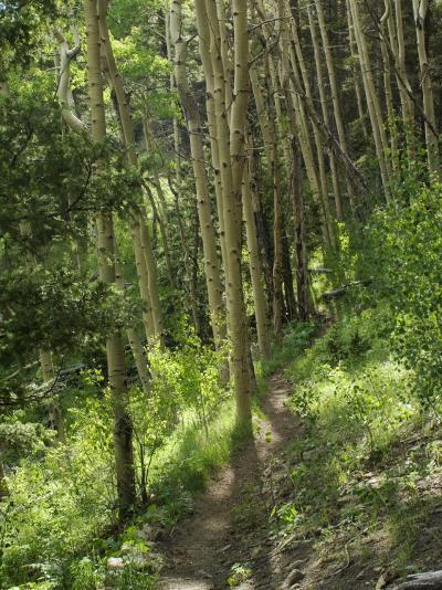 Trail Through Aspen Forest in the Pecos Wilderness, Sangre De Cristo Mountains, New Mexico--Photographic Print