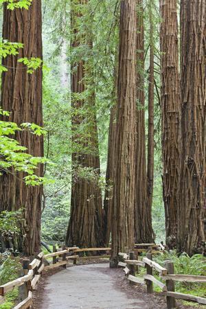 https://imgc.artprintimages.com/img/print/trail-through-muir-woods-national-monument-california-usa_u-l-pn6y9g0.jpg?p=0