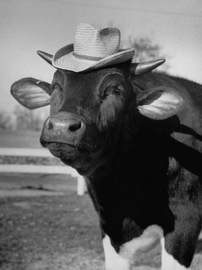 Trained Cow Wearing a Hat-Nina Leen-Photographic Print
