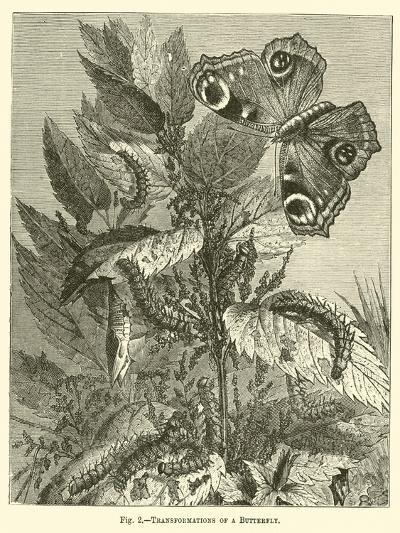Transformations of a Butterfly--Giclee Print