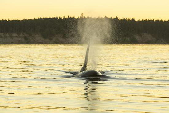 Transient Orca Whales near D'Arcy Island, Gulf Island National Park Reserve, British Columbia, Cana-Stuart Westmorland-Photographic Print