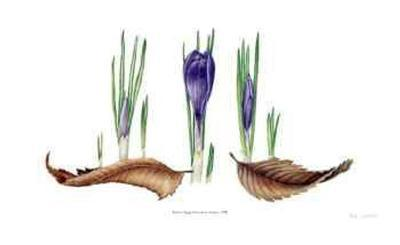 Transitions; Crocus-Pamela Stagg-Limited Edition