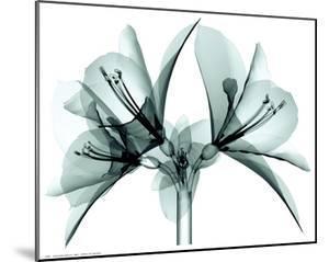 Translucent Amaryllis