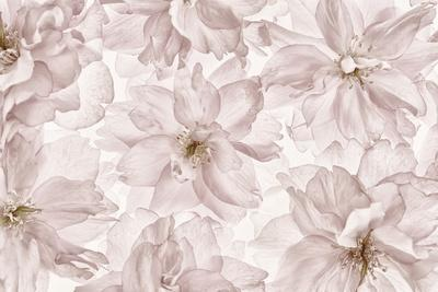 https://imgc.artprintimages.com/img/print/translucent-cherry-blossom_u-l-q12u30h0.jpg?p=0