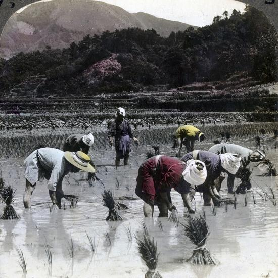 Transplanting Rice in a Paddy Field, Japan, 1904-Underwood & Underwood-Photographic Print