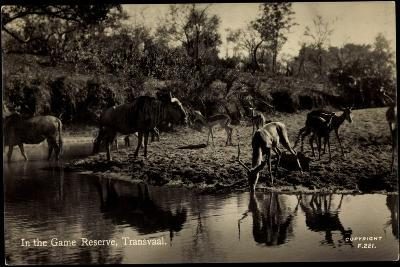 Transvaal Südafrika, in the Game Reserve, Herde Am Ufer--Giclee Print