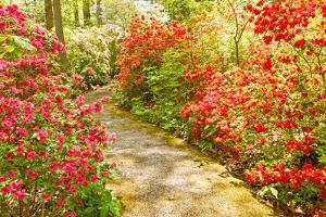 Blooming Red Azalea Flowers in Spring by Travelif