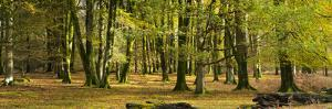 Forest Interior, New Forest, Hampshire, UK by Travelpix Ltd