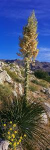 Tree at Anza Borrego Desert State Park, Borrego Springs, California, Usa