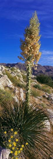 Tree at Anza Borrego Desert State Park, Borrego Springs, California, Usa--Photographic Print