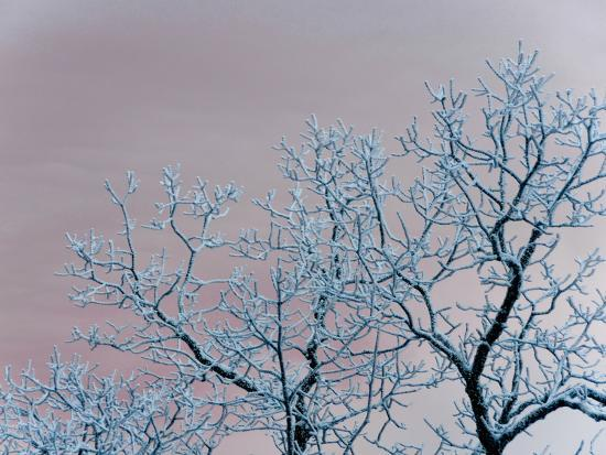 Tree Branches Covered in Rime Ice-Amy & Al White & Petteway-Photographic Print