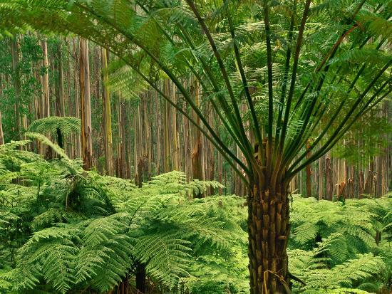 Tree Ferns in Eucalyptus Forest, Ferntree Gully National Park, Australia-Frans Lanting-Photographic Print