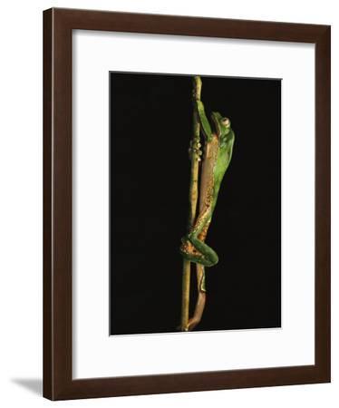 Tree Frog Climbing a Branch, Finca la Selva Biological Station, Costa Rica-Michael Nichols-Framed Photographic Print