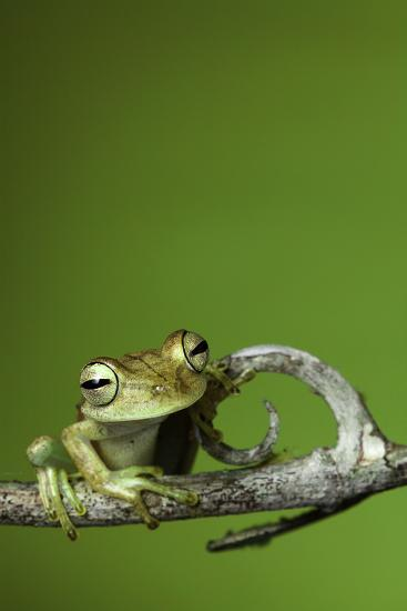 Tree Frog Golden Color Rainforest Amphibian On Branch Background Copy Space-kikkerdirk-Photographic Print