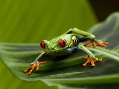 Tree Frog in Costa Rica-Paul Souders-Photographic Print