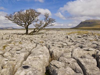 Tree Growing Through Limestone, Ingleton, Yorkshire Dales National Park, England, United Kingdom-Neale Clark-Photographic Print