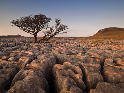 Tree Growing Through the Limestone at Sunset, Ingleton, Yorkshire Dales National Park, England-Neale Clark-Photographic Print