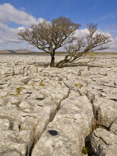 Tree Growing Through the Limestone, Yorkshire Dales National Park, Yorkshire, England-Neale Clark-Photographic Print