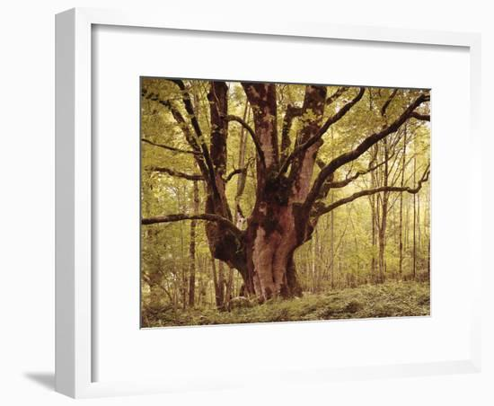 Tree, Harewood, Old, Huge-Thonig-Framed Photographic Print