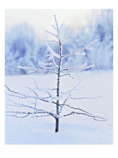 Tree in Winter Snow and Ice--Photo