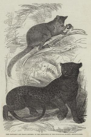 Tree Kangaroo and Black Leopard, in the Menagerie of the Zoological Society, Regent'S-Park--Giclee Print