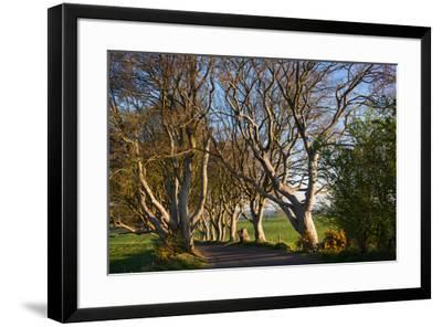 Tree lined at dawn, Dark Hedges, Ballymoney, County Antrim, Northern Ireland--Framed Photographic Print