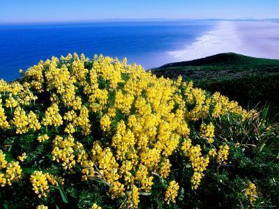 Tree Lupine at Point Reyes National Seashore, Marin County, California-John Elk III-Photographic Print