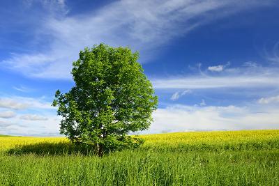 Tree on the Edge of a Rape Field in the Spring, Saalekreis, Saxony-Anhalt, Germany-Andreas Vitting-Photographic Print