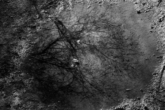 Tree Reflection in Puddle--Photo
