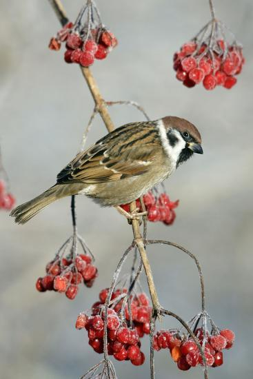 Tree Sparrow Perched on Guelder Rose Bush--Photographic Print