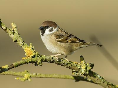 Tree Sparrow Perched on Lichen Covered Twig, Lincolnshire, England, UK-Andy Sands-Photographic Print