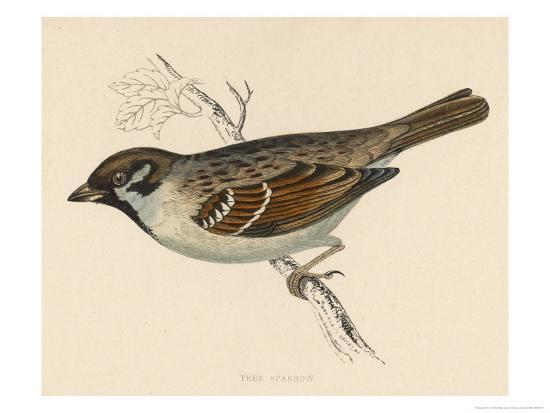 Tree Sparrow-Reverend Francis O^ Morris-Giclee Print