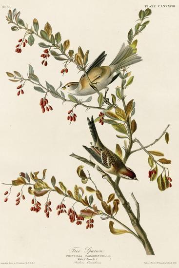 Tree Sparrow--Giclee Print
