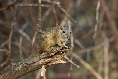 Tree Squirrel (Smith's Bush Squirrel) (Yellow-Footed Squirrel) (Paraxerus Cepapi), Africa-James Hager-Photographic Print