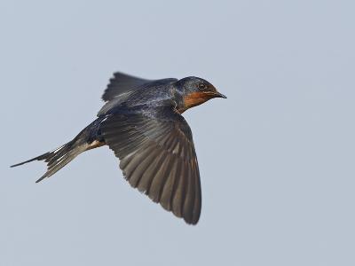Tree Swallow in Flight-Richard Ettlinger-Photographic Print