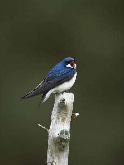 Tree Swallow (Tachycineta Bicolor) Singing from Perch, Long Island, New York-Tom Vezo/Minden Pictures-Photographic Print