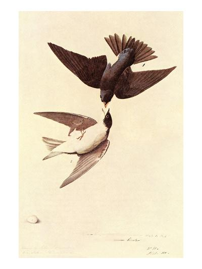 Tree Swallow-John James Audubon-Art Print