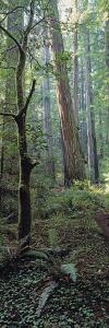 Tree Trunks, Redwood State Park, Humboldt County, California, USA