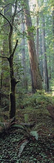 Tree Trunks, Redwood State Park, Humboldt County, California, USA--Photographic Print