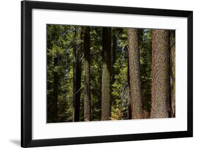 Tree Trunks, Tuolumne Sequoia Grove, Yosemite NP, California-David Wall-Framed Photographic Print
