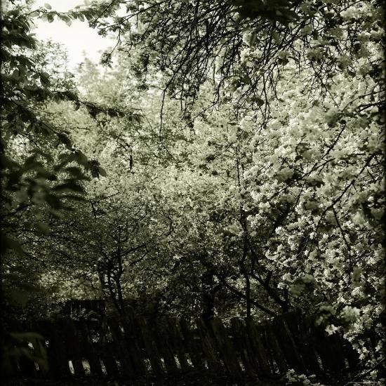 Trees along Fence in Bloom-Ewa Zauscinska-Photographic Print