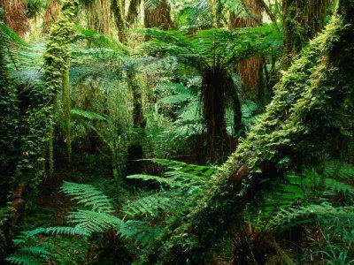 https://imgc.artprintimages.com/img/print/trees-and-ferns-in-beech-forest-oparara-new-zealand_u-l-p10ufi0.jpg?p=0