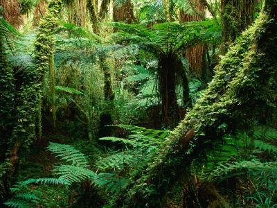 Trees and Ferns in Beech Forest, Oparara, New Zealand-Oliver Strewe-Photographic Print