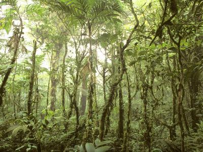 Trees and Vines in the Mist of the Monteverde Rainforest-Skip Brown-Photographic Print