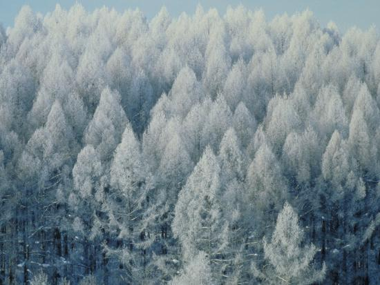 Trees Biei-Cho Hokkaido--Photographic Print