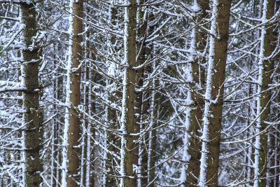 Trees Covered with Snow in the Woods after a Heavy Snowfall, Italy-Roberto Moiola-Photographic Print