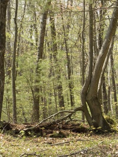 Trees Growing over a Decomposing Nurse Log in the Eastern Deciduous Forest, New England, USA--Photographic Print