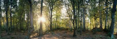 Trees in a Forest, Black Forest, Freiburg Im Breisgau, Baden-Wurttemberg, Germany--Photographic Print